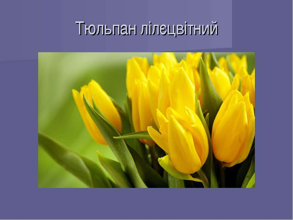 Тюльпан лілєцвітний