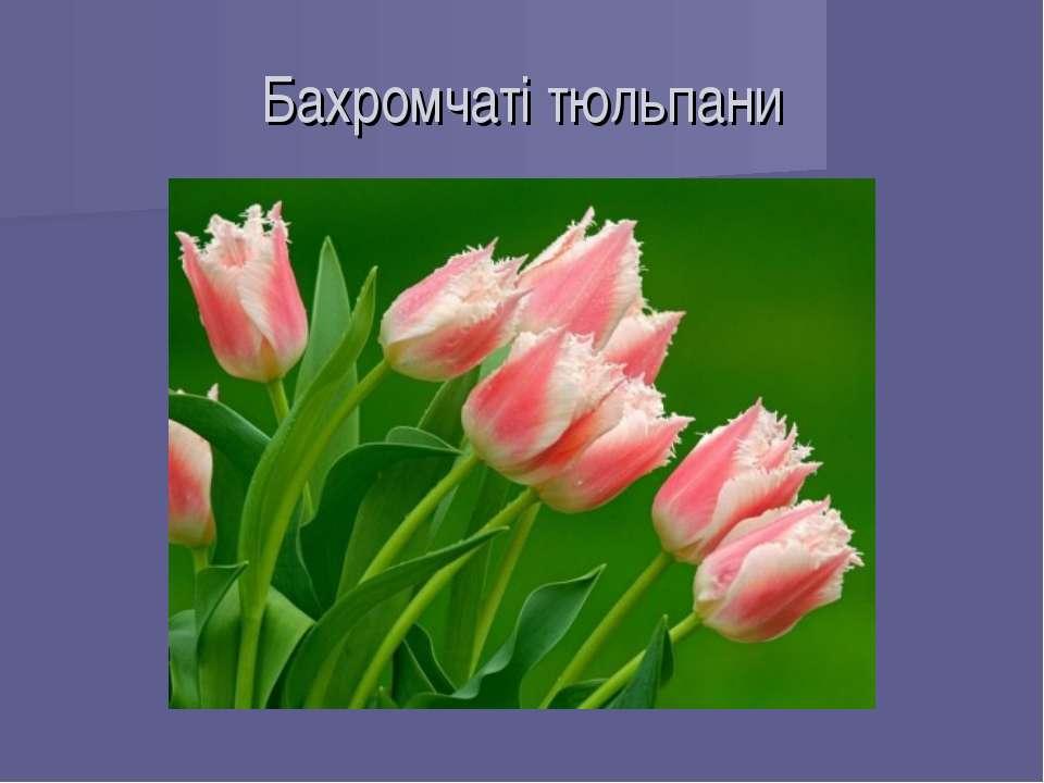 Бахромчаті тюльпани