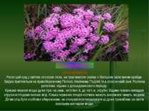 ВОВЧІ ЯГОДИ ПАХУЧІ Де зустрічається Росте цей кущ у світлих соснових лісах, н...