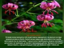 ЛІЛІЯ ЛІСОВА Чому потребує охорони Останнім часом чисельність лілії лісової п...