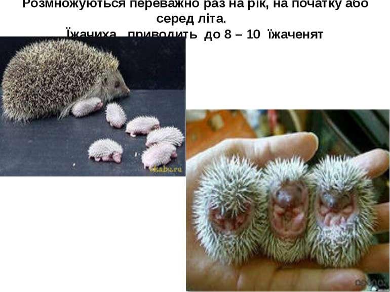 Розмножуються переважно раз на рік, на початку або серед літа. Їжачиха привод...