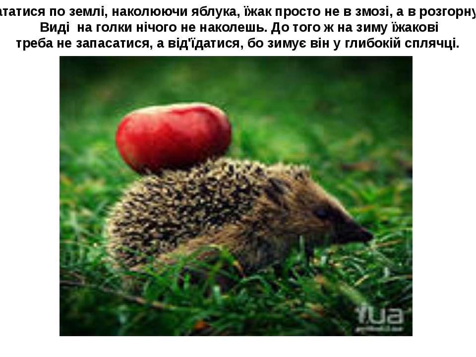 .. Кататися по землі, наколюючи яблука, їжак просто не в змозі, а в розгорнут...