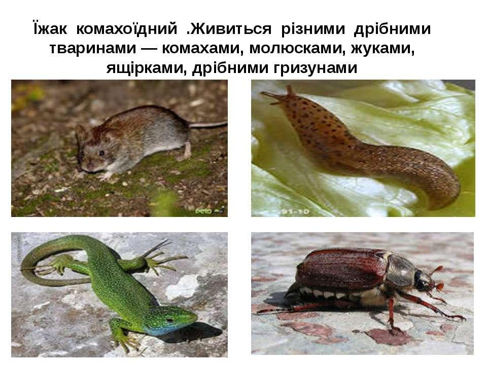 Їжак комахоїдний .Живиться різними дрібними тваринами — комахами, молюсками, ...