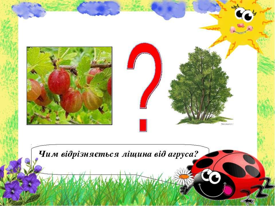 Чим відрізняється ліщина від агруса?