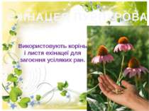 ЕХІНАЦЕЯ ПУРПУРОВА Використовують корінь і листя ехінацеї для загоєння усіляк...