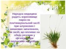 ПИРІЙ ПОВЗУЧИЙ Народна медицина радить кореневище пирiю як пом'якшувальний за...
