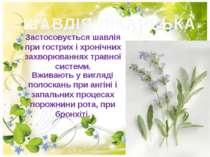 ШАВЛІЯ ЛІКАРСЬКА Застосовується шавлія при гострих і хронiчних захворюваннях ...