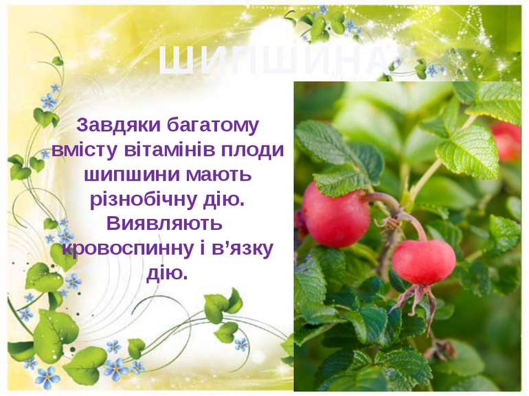 ШИПШИНА Завдяки багатому вмісту вітамінів плоди шипшини мають різнобічну дію....