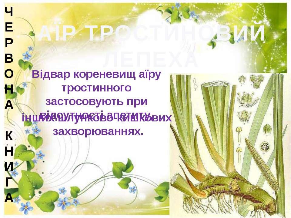 АЇР ТРОСТИНОВИЙ ЛЕПЕХА Відвар кореневищ аїру тростинного застосовують при від...