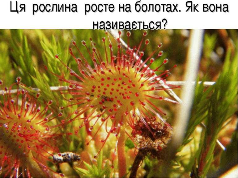 Ця рослина росте на болотах. Як вона називається?