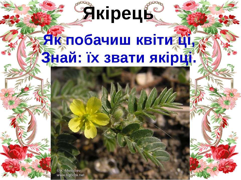 Якірець Як побачиш квіти ці, Знай: їх звати якірці.