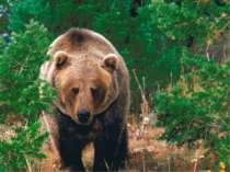 Великі й могутні тварини - бурі ведмеді - в Україні зустрічаються в Карпатах....