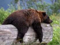 Восени ведмідь відгодовується, щоб на зиму запастися жиром. Восени він запаса...
