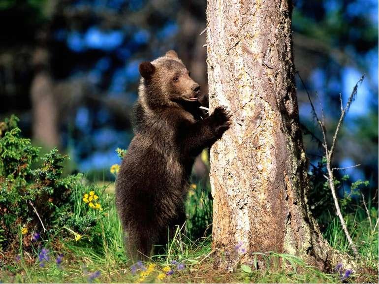 Ведмідь добре плаває, лазить по деревах. Це неймовірно сильна тварина - велик...