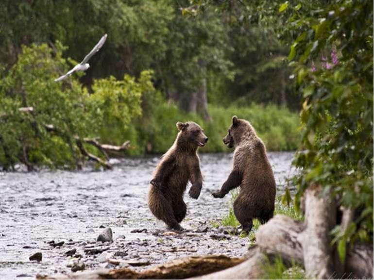 У пошуках їжі ведмідь може проходити за один день декілька кілометрів.