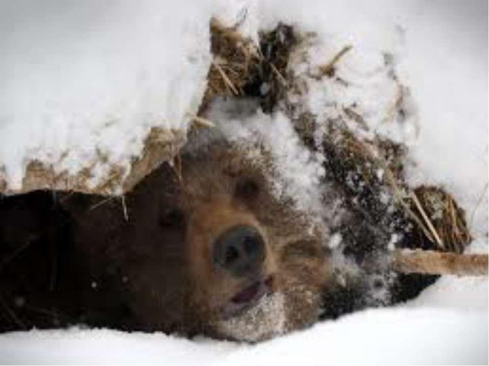 Взимку ведмедю важко знайти їжу, тому він будує собі барліг і залягає спати. ...
