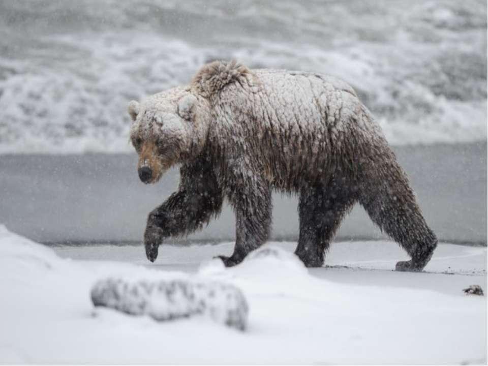 Якщо ведмідь не запасе восени жиру, то він не лягає спати, а цілу зиму ходить...