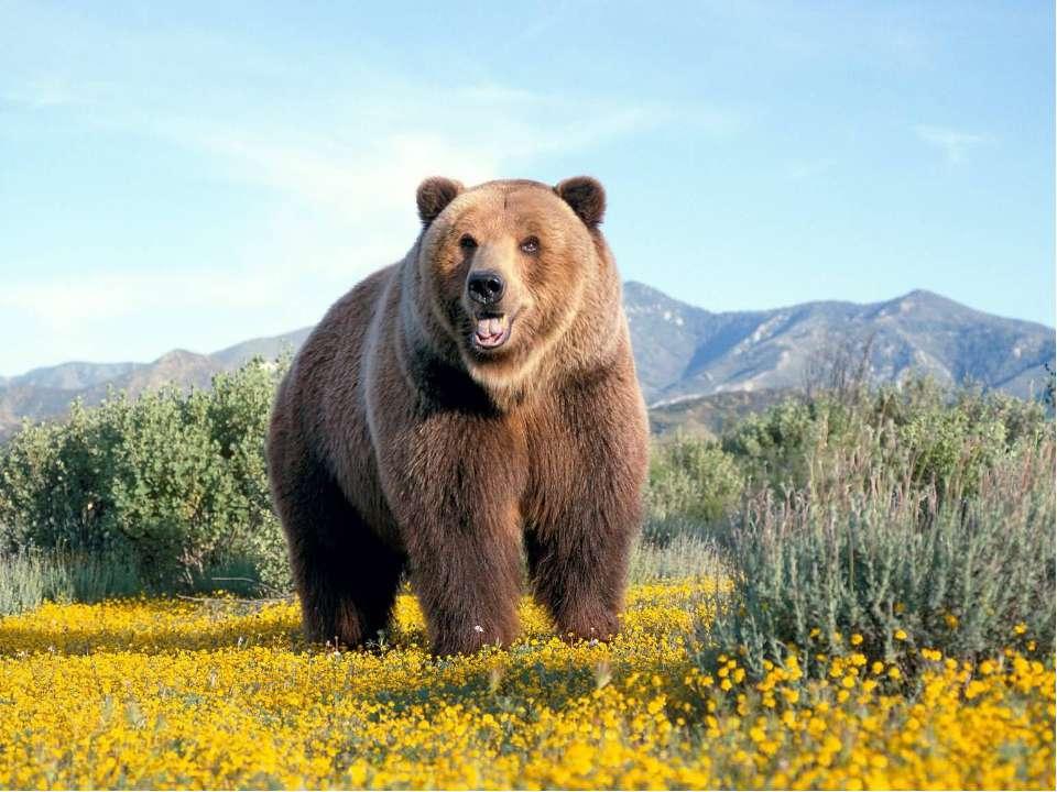 А чому його називають клишоногим (косолапим)? Коли ведмідь ходить, то перевал...