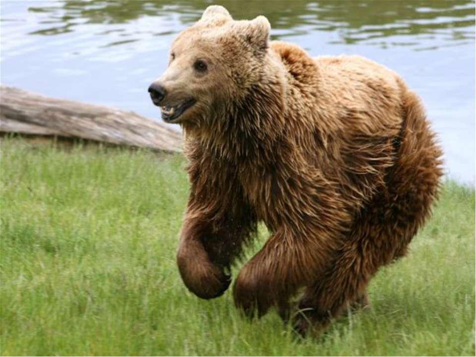 Хоча ведмедя і називають незграбним, він здатний наздогнати коня, спритно і н...