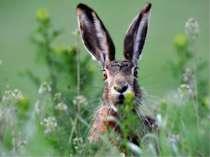 Зайця легко впізнати по довгих вухах і куцому хвостику. Великі й рухливі вуха...