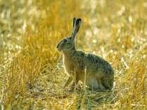 Діти, а ви знаєте, чому цю тварину називають зайцем? Колись зайця називали «з...