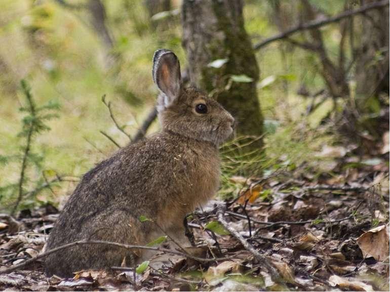 Зайця завжди змальовують як боягуза. Проте, завдяки своїй лякливості й обереж...
