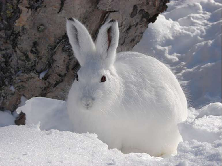 Крім зайця-русака, в Україні іноді трапляється заєць-біляк. Цей заєць на зиму...