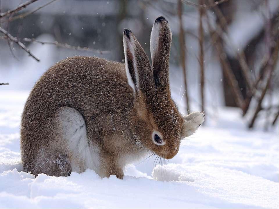 Хутро зайця-русака сіре з рудуватим відтінком. На зиму хутро стає густішим і ...