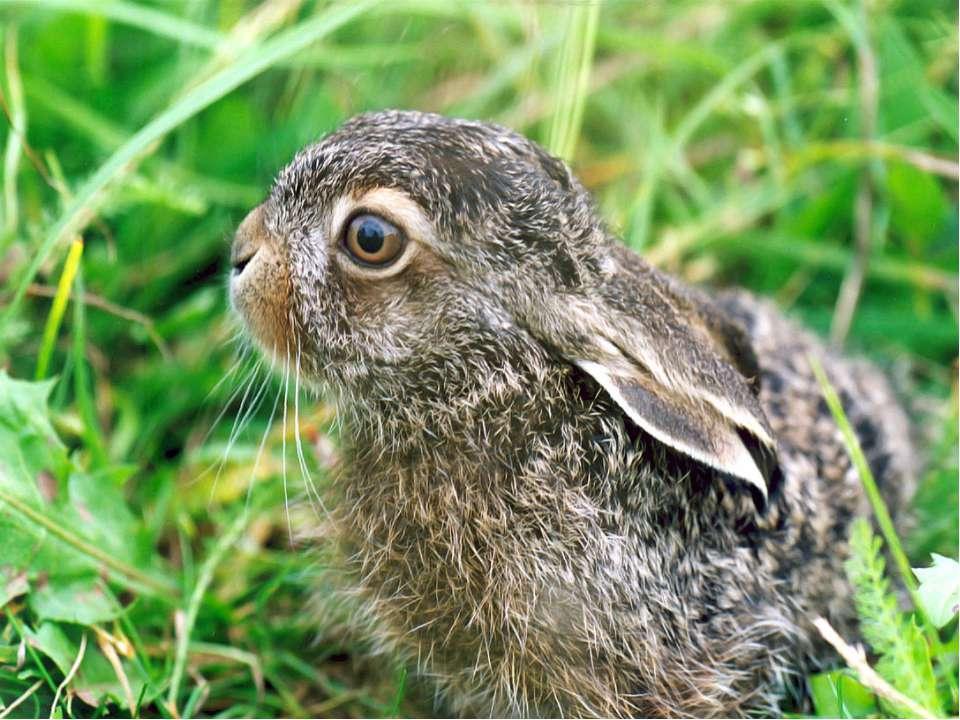 Зайці не будують собі схованки і не запасають корм на зиму. Вдень ховаються д...
