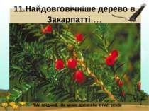 11.Найдовговічніше дерево в Закарпатті… Тис ягідний. Вік може досягати 4 тис...