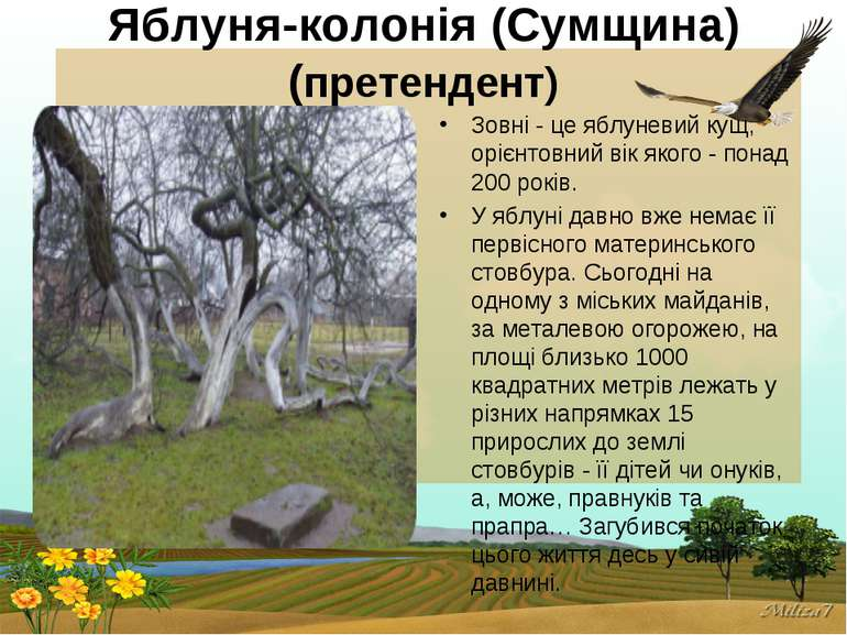 Яблуня-колонія (Сумщина) (претендент) Зовні - це яблуневий кущ, орієнтовний в...