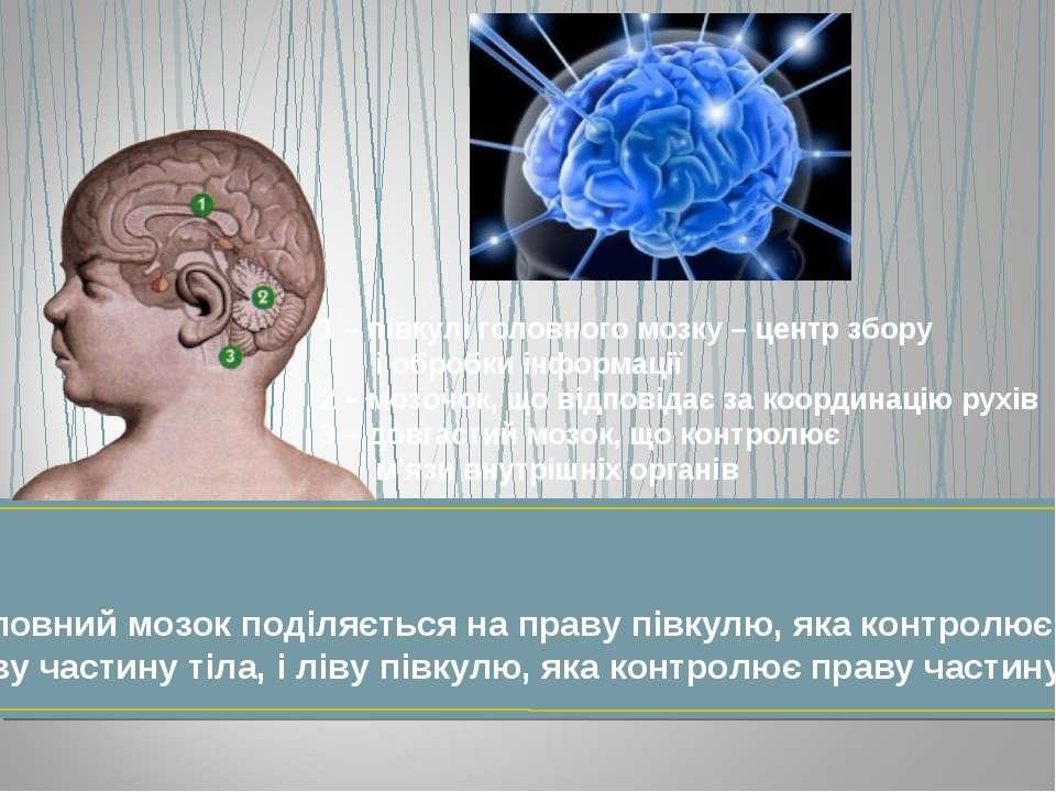 Головний мозок поділяється на праву півкулю, яка контролює ліву частину тіла,...