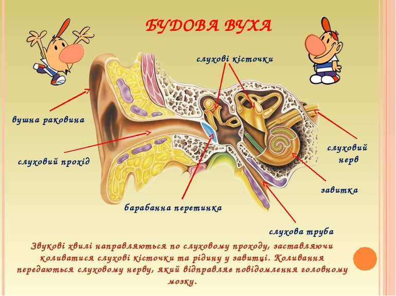 БУДОВА ВУХА вушна раковина слуховий прохід барабанна перетинка завитка слухов...