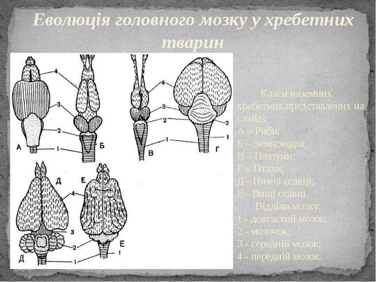 Класи наземних хребетних,представлених на слайді: А – Риби; Б – Земноводні; В...