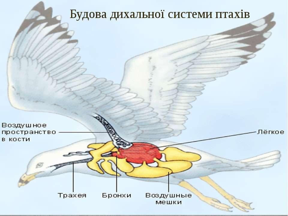 Будова дихальної системи птахів