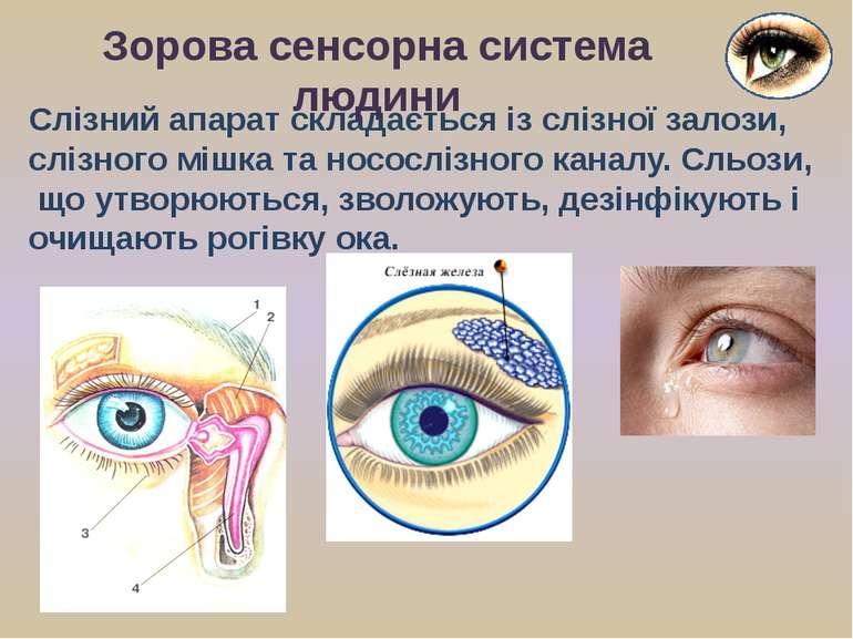 Слізний апарат складається із слізної залози, слізного мішка та носослізного ...