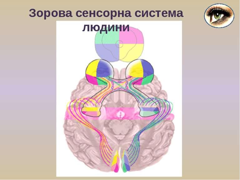Зорова сенсорна система людини