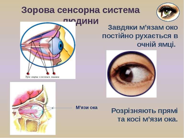 Завдяки м'язам око постійно рухається в очній ямці. Зорова сенсорна система л...