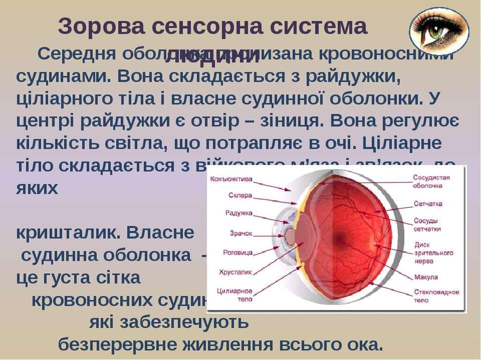 Середня оболонка пронизана кровоносними судинами. Вона складається з райдужки...