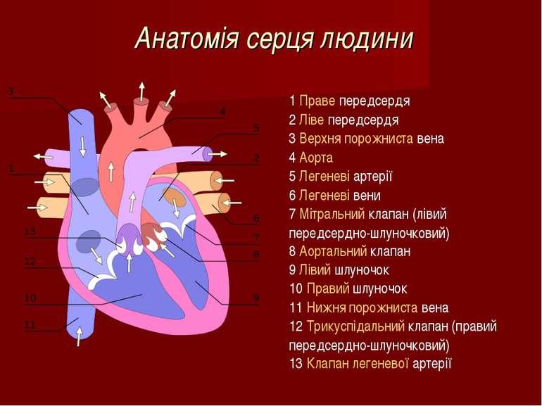 Анатомія серця людини 1Праве передсердя 2Ліве передсердя 3Верхня порожнист...