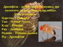 Дрозофіла – дрібна плодова мушка, що належить до ряду двокрилих комах. Її сис...