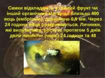 Самки відкладають у гнилий фрукт чи інший органічний матеріал близько 400 яєц...