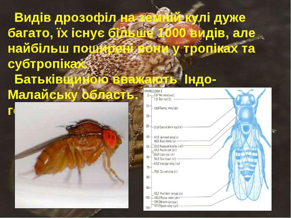 Видів дрозофіл на земній кулі дуже багато, їх існує більше 1000 видів, але на...