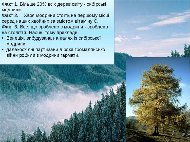 Факт 1. Більше 20% всіх дерев світу - сибірські модрини. Факт 2. Хвоя модр...