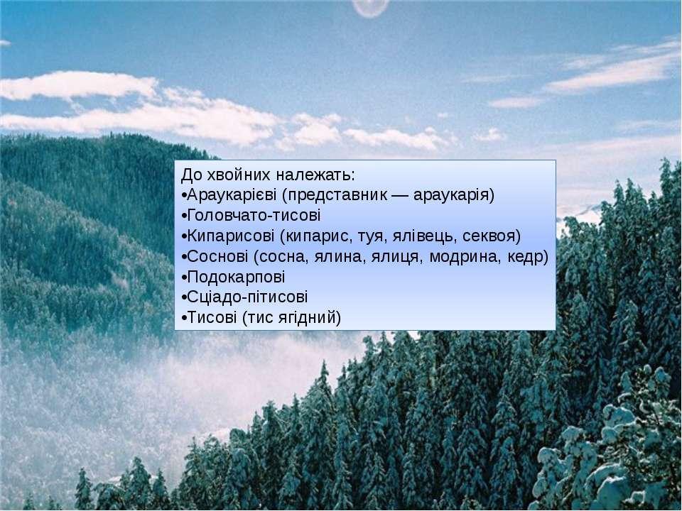 До хвойних належать: •Араукарієві (представник — араукарія) •Головчато-тисові...