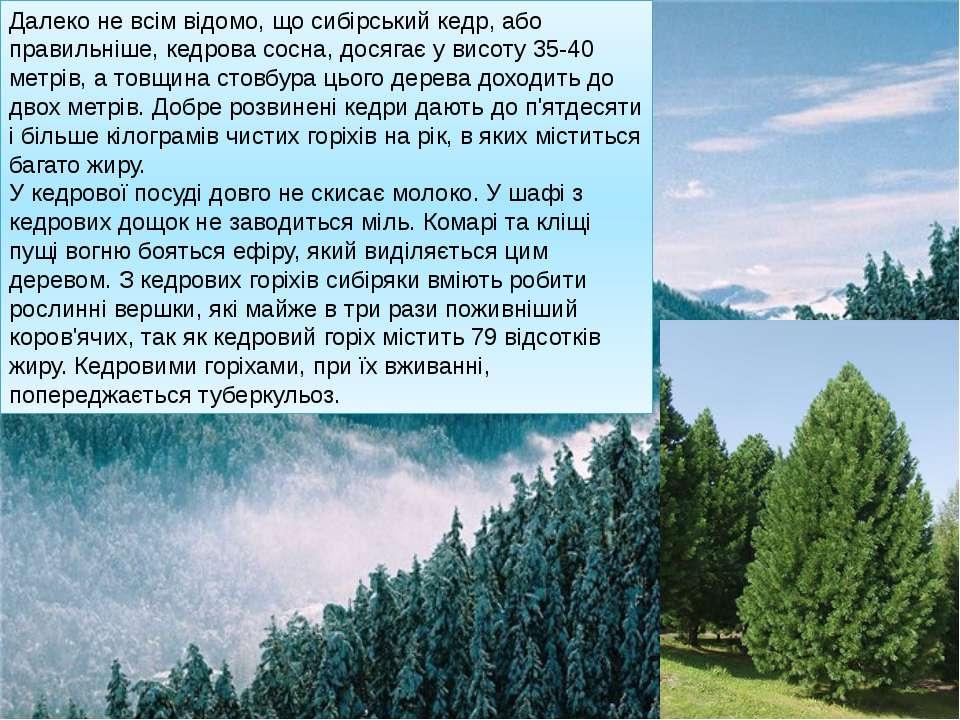 Далеко не всім відомо, що сибірський кедр, або правильніше, кедрова сосна, до...