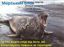 Морський слон На тілі видно сліді від битв, які влаштовують тварини за територію