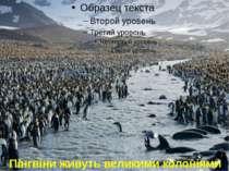 Пінгвіни живуть великими колоніями