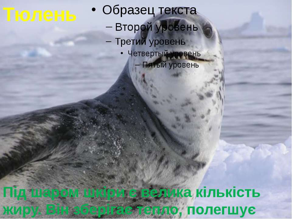 Тюлень Під шаром шкіри є велика кількість жиру. Він зберігає тепло, полегшує ...