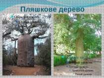 Пляшкове дерево